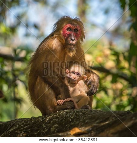 Wild red-faced macaque monkey with a baby in Thailand