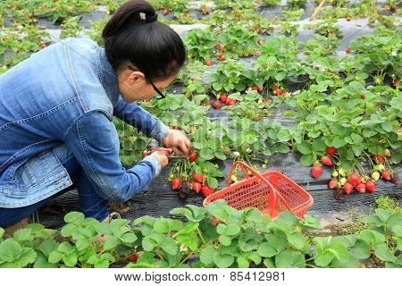 young asian woman picking strawberry in field