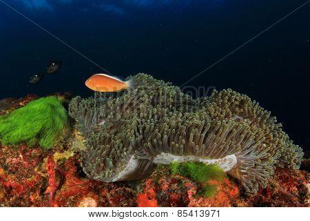 Anemone Skunk Clownfish