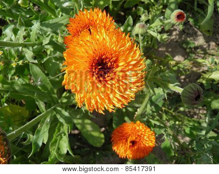 Blossoming orange pot marigold (calendula) flowers.