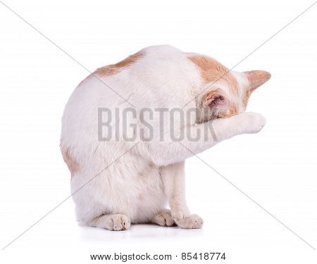 Thai Cat Isolated On White Background