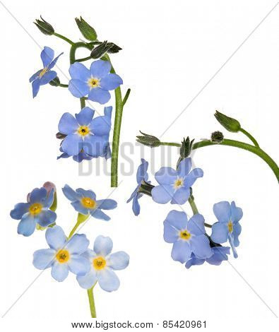 light blue forget-me-not flowers isolated on white background