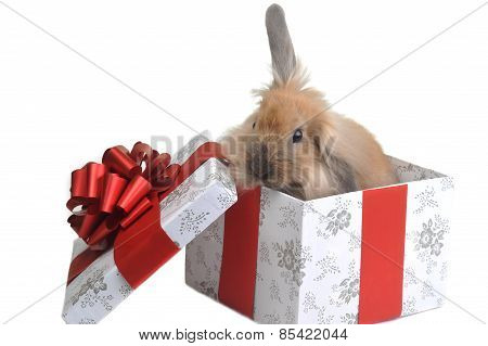 Rabbit in Gift Box
