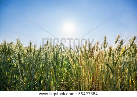 wheat field with clear blue sky.