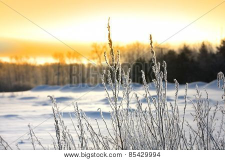 Icy plants against sun set sky in winter