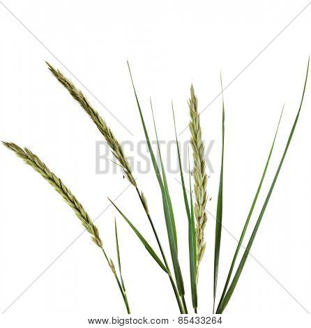 ELYMUS LEYMUS ARENARIUS Plant Grass Isolated on white background