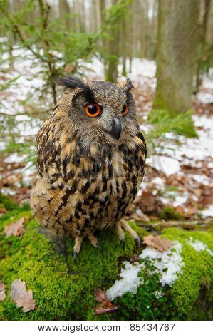 Closeup Eurasian Eagle-owl