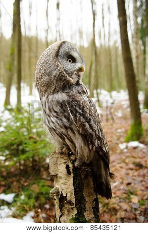 Great Grey Owl From Side