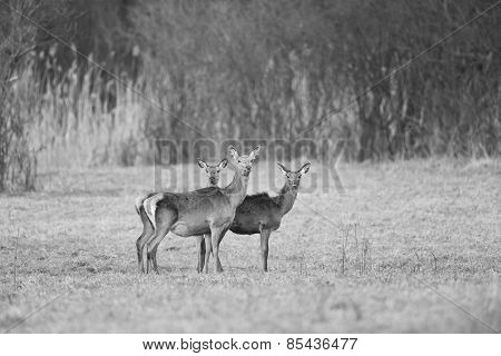 Hind With Two Young Deer