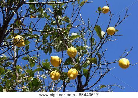 Green lemon tree with yellow juicy lemons