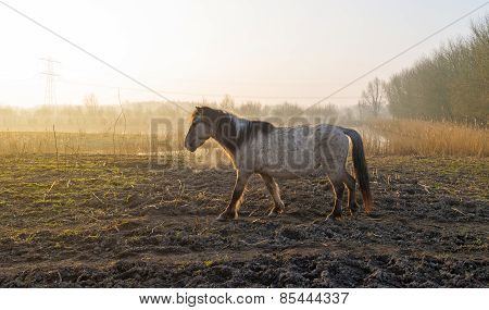 Konik horses grazing in a field at sunrise