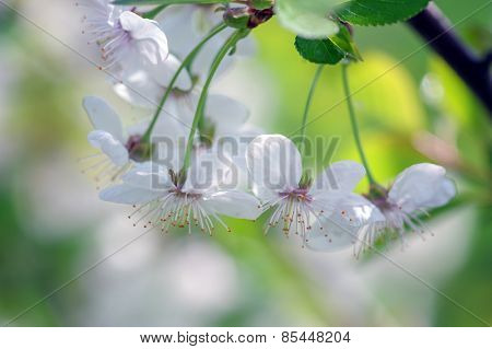 bee in cherry flower isolated
