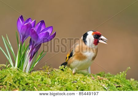 Goldfinch and crocus