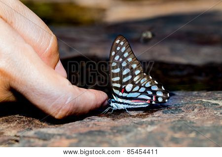Common Jay Butterfly With Human Finger