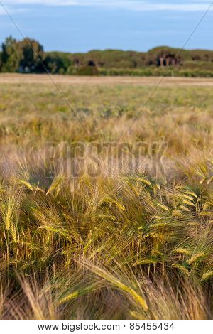 Wheat growing in green farm field