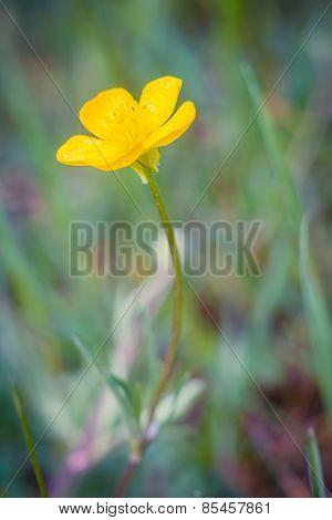 Buttercups Flowers
