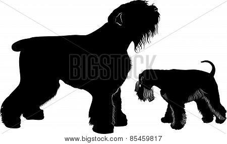 miniature schnauzer and black Terrier