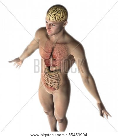 3D render of a male figure with healthy internal organs and brain