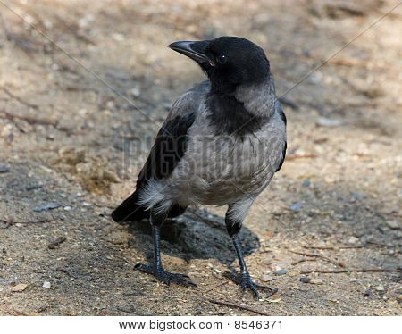 Corvus Cornix, Hooded Crow
