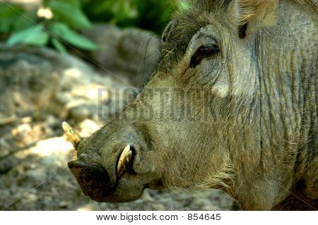Razorback Hog Sideview