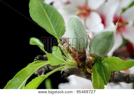 Early stage of almonds growing on a almond tree branch isolated on black- almond flowers as background