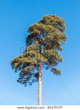 Detailed Photo Of European Pine Tree Over Blue Sky