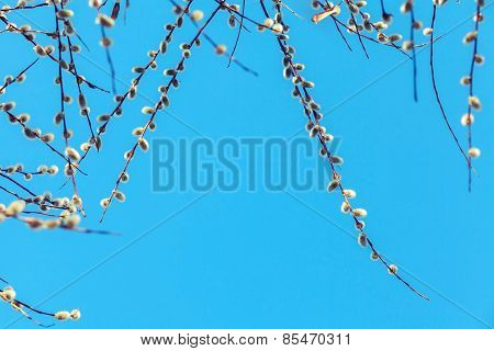 Pussy Willow Branches With White Catkins On A Blue
