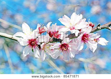 Blossoming almond flowers in spring