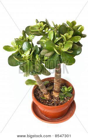 Crassula (money Tree)