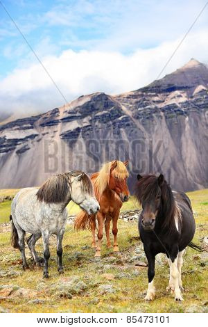 Icelandic Horses on Iceland nature landscape. Beautiful Icelandic horse standing on field in nature landscape with mountains. Iceland travel and tourism.