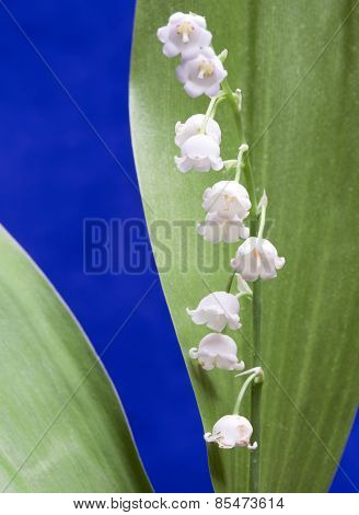 lily of the valley small depth of sharpness