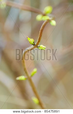 Developing buds in early spring season on branch