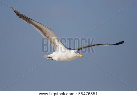 Lone Black Back Gull Flying In Bright Blue Sky