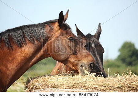 Two Bay Horses Eating Hay At The Pasture