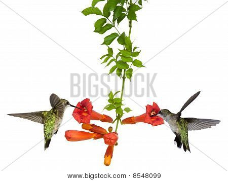 Hummingbirds Feed At A Trumpet Vine