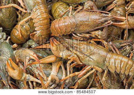 Many Live Crayfish On Kitchen