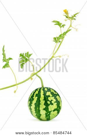 Watermelon. Fresh, Juicy With Green Stem, Leafs And Yellow Blossom