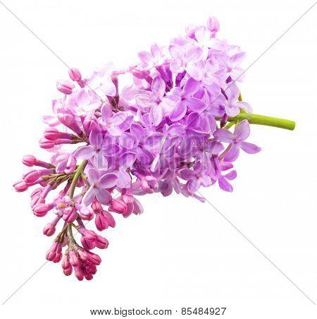 Spring flower twig purple lilac. Syringa vulgaris.