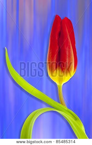 Red tulip on Blue