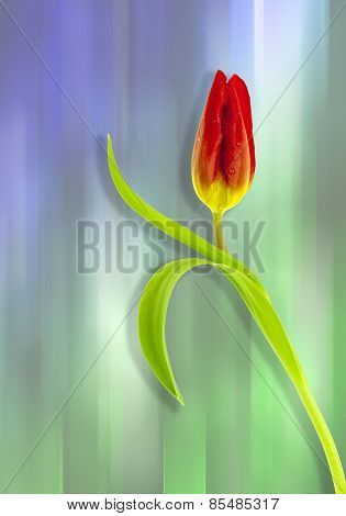 Red tulip on Blue and green