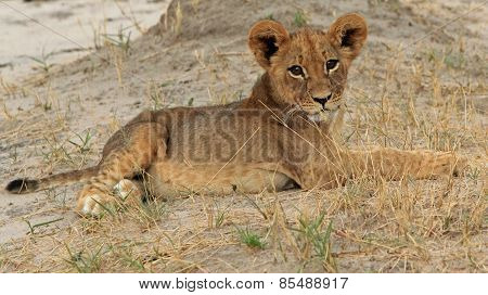 Isolated Lion Cub resting on the dusty plains in Hwange