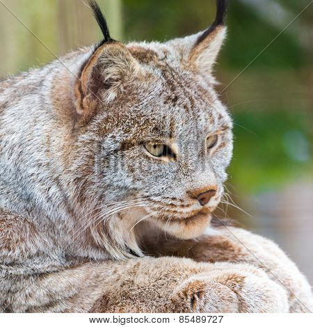 Close Up Of The Canadian Lynx