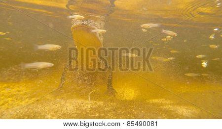 Aligator Under Water