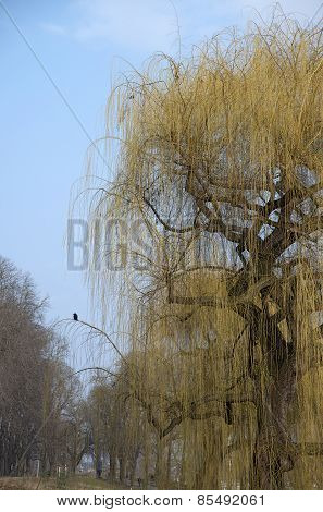Weeping Willow And A Raven