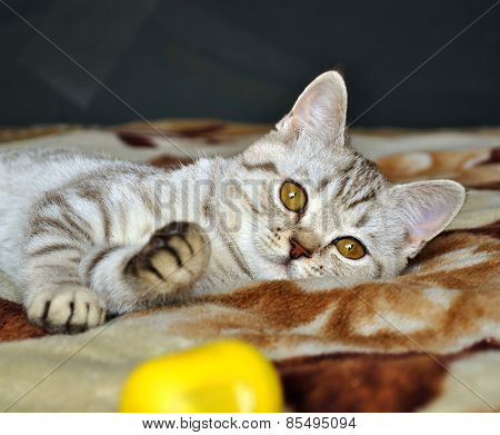 Scottish tabby cat breed