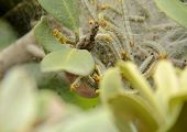 picture of silk worm  - Green and orange worms in a silk nest   - JPG