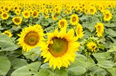 image of sunflower  - Large happy sunflower and sunflower oil crop on a sunny day in the Tarn - JPG