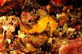 stock photo of seahorse  - Tigertail Seahorse - JPG