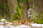 stock photo of northern hemisphere  - Great grey owl in the winter forest  - JPG