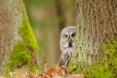 image of northern hemisphere  - Curious Great grey owl in the winter forest - JPG